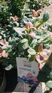ブルーベリー品種ピーチソルベ